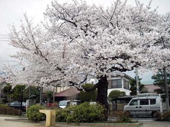 Cherry01_1