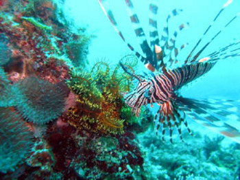fleyerlionfish
