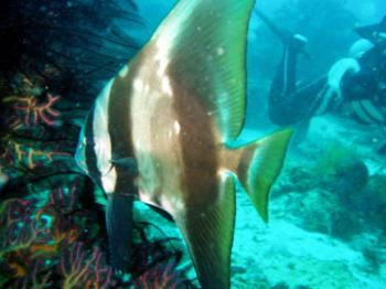 liloan200603batfish